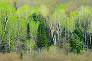 Hardwood and softwood trees at edge of forest leafing out in the spring<br /> Utterson<br /> Ontario<br /> Canada