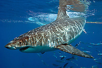 Female Great White Shark Profile