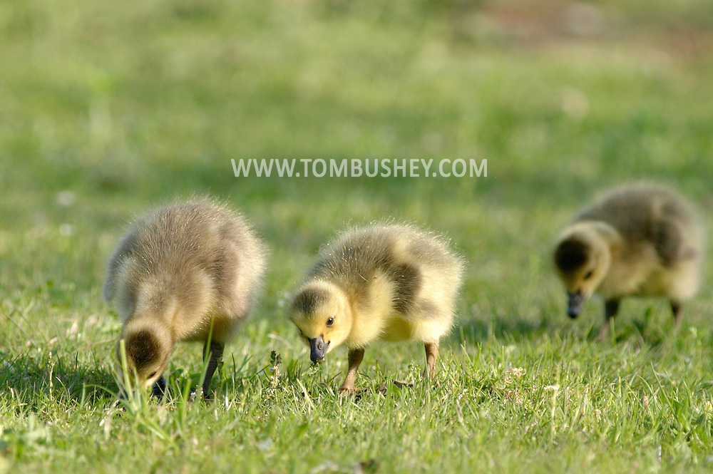 Middletown, N.Y. - Three goslings look for food in the grass at Fancher-Davidge Park on May 4, 2006. ©Tom Bushey