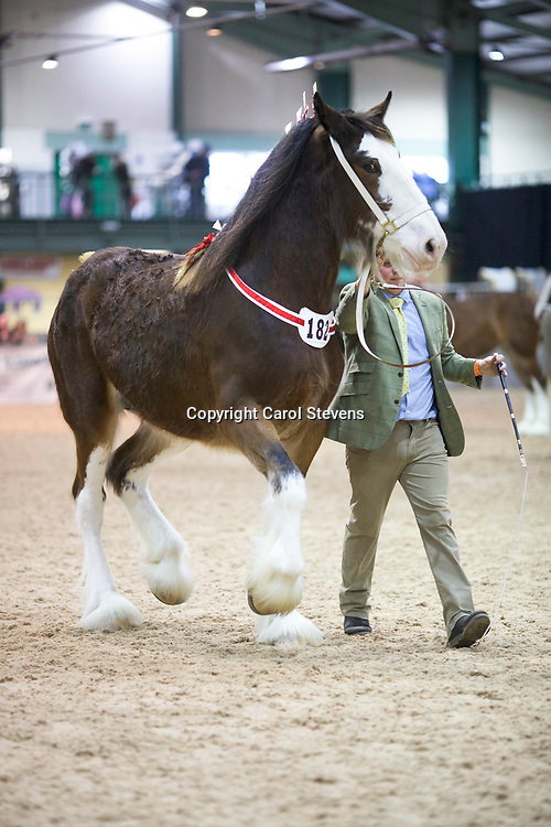 Mr Ben Wright's Old Croft Honeysuckle  (No.182)<br /> Sire  Milnerfield Sir William<br /> Dam  Grovemere Dolly<br /> Winner  Fillies, 2 years old, Reserve Junior Champion and Reserve Female Champion