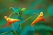 Spotted Touch-Me-Not (Impatiens capensis) - Mississippi