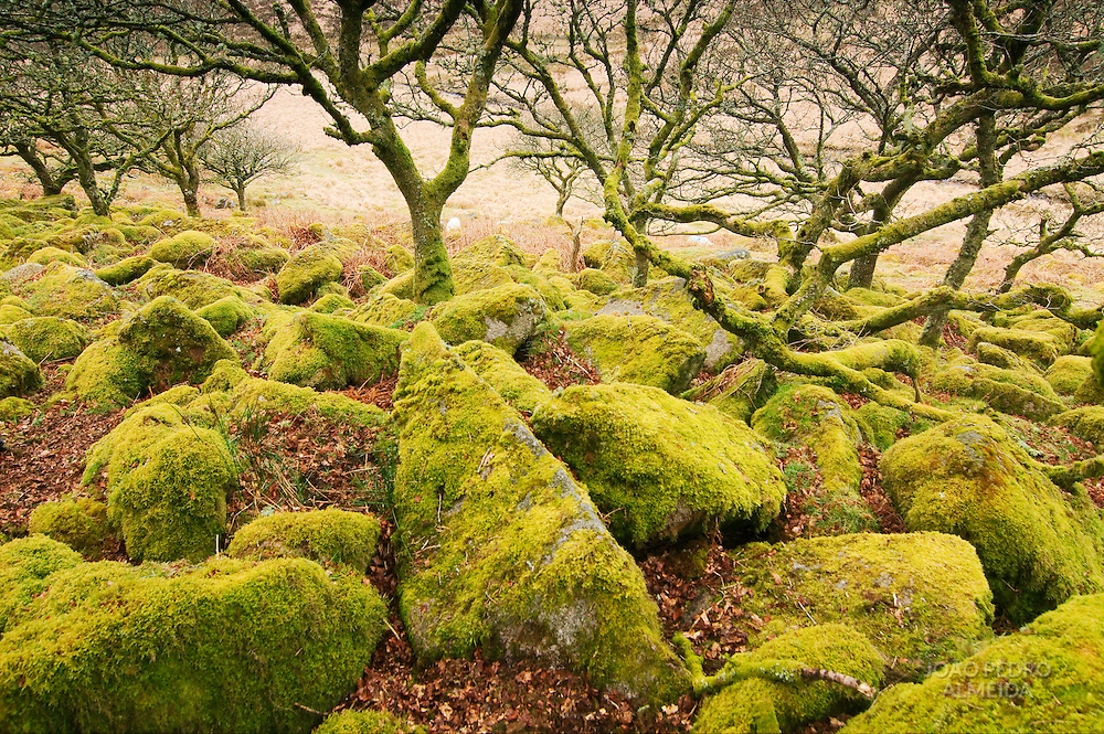 Moss covered rocks at Wistman's Wood