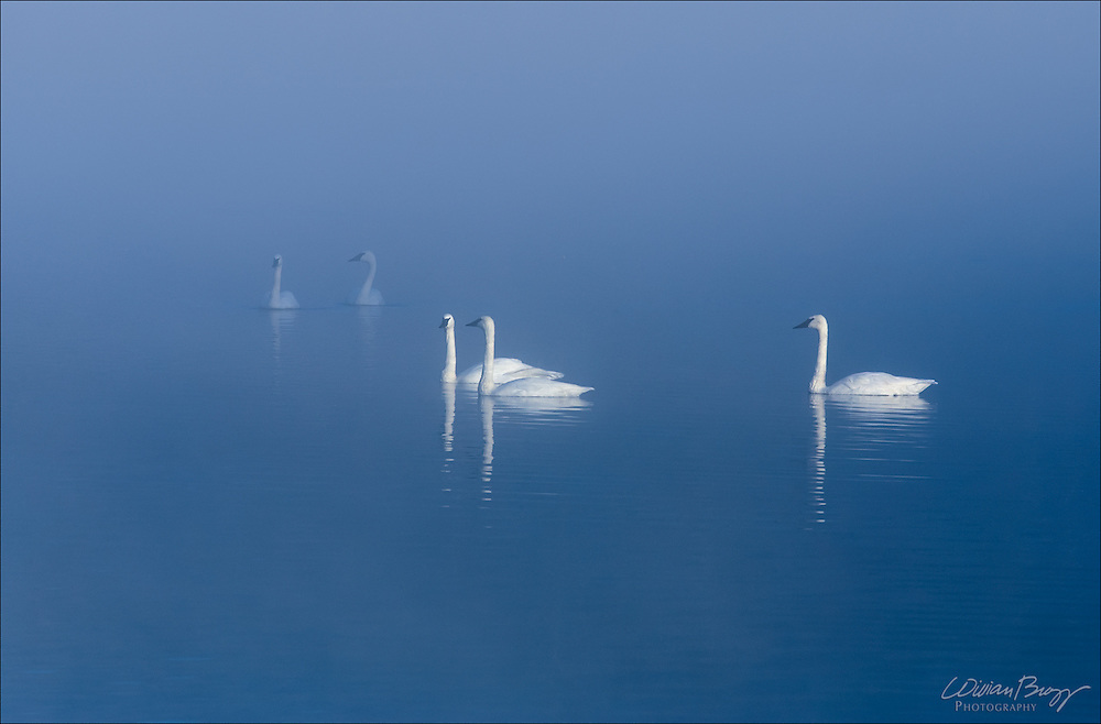Trumpeter Swans on a lake in the fog in Jackson, WY