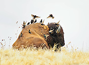 Starlings flying on and of the back of a bison