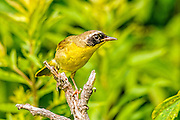 Common Yellowthroat - Geothlypis trichas on a branch