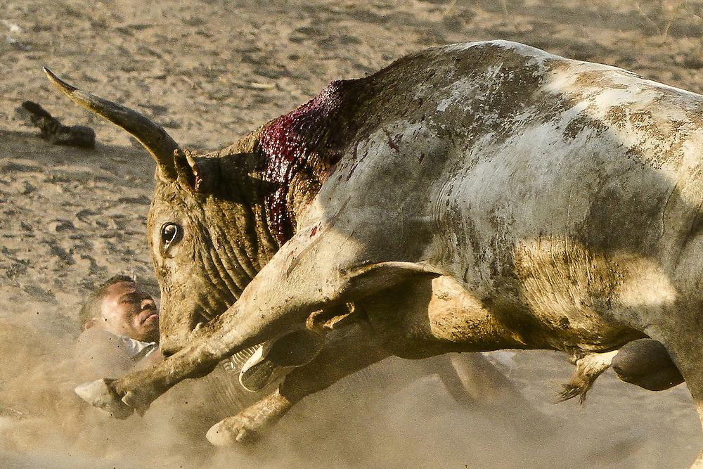 Un aficionado es embestido por un toro durante una corraleja en Turbaco, Bolivar, Colombia.