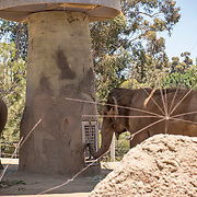 July 13-16, 2016, San Diego, CA:<br /> Elephants at the San Diego Zoo during a trip to San Diego, California Wednesday, July 13 to Saturday, July 16, 2016. <br /> (Photos by Billie Weiss)