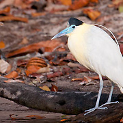 Capped Heron along the Cristalino river, Amazon, Brazil