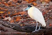 Capped Heron along the Cristalino river, Amazon, Brazil