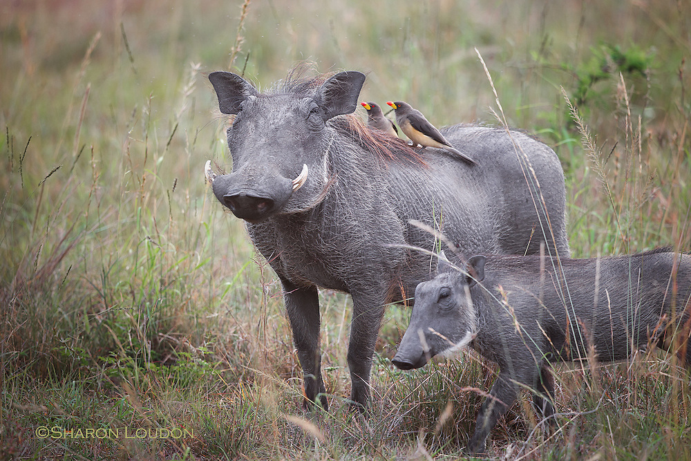 Warthog, young and two oxpeckers, Maasai Mara