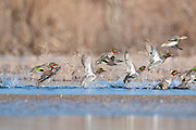 Green-winged Teal, Anas carolinensis, Shiawassee River, Saginaw County, Michigan