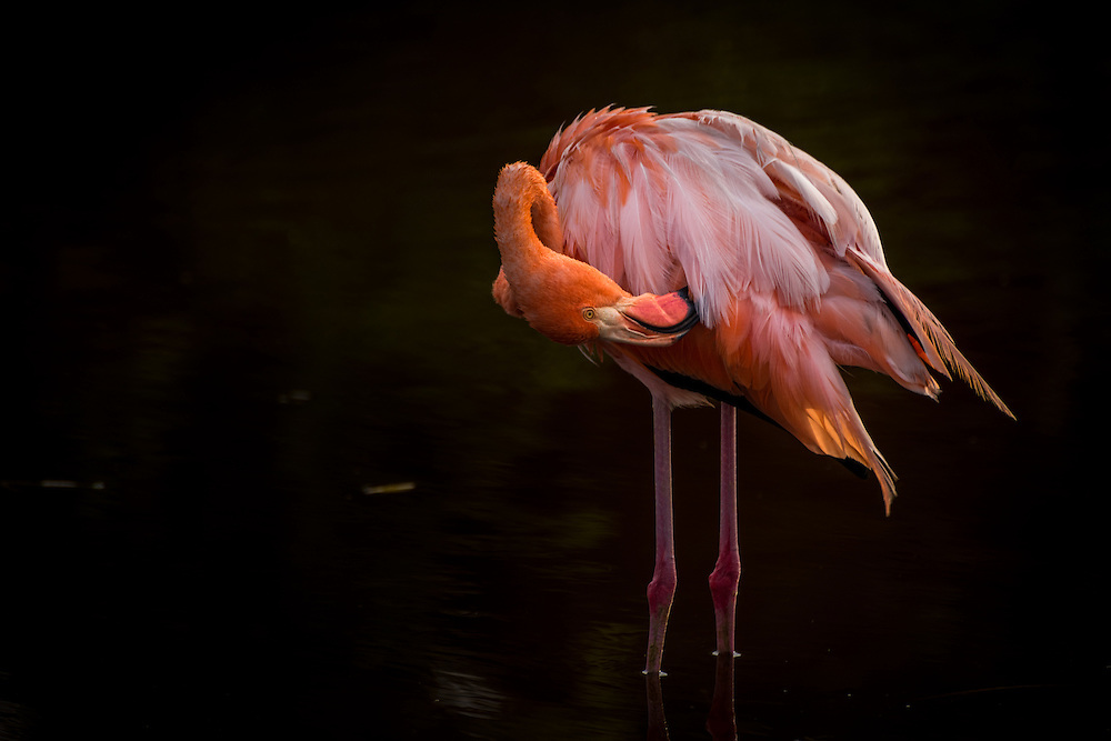 Pelican wassing itsself in a freshwater lagoon, Isla Isabela, Galapagos, Ecuador.