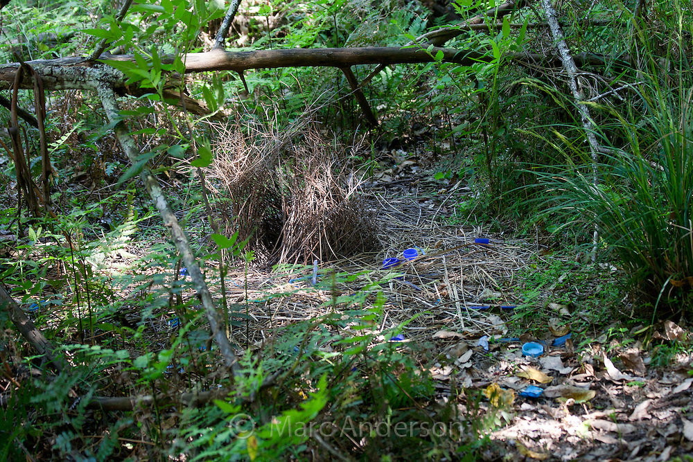 The bower of a Satin Bowerbird (Ptilonorhynchus violaceus) surrounded by blue items collected by the male bird, Australia