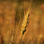 """""""Autumn Wheat""""<br /> <br /> Wonderful gold tones and sunlight in this beautiful photograph of wheat in the Mid-West!"""