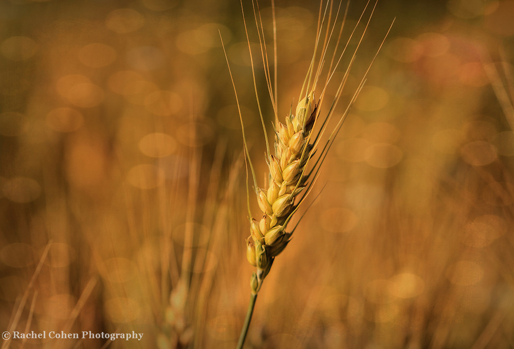 &quot;Autumn Wheat&quot;<br />