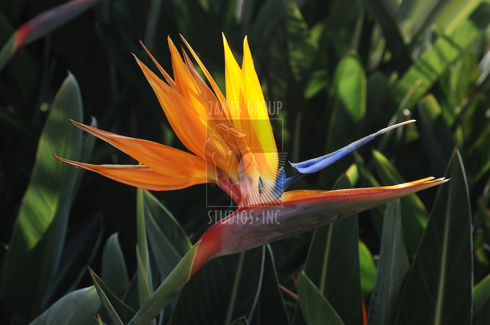 close-up of a bird of paradise flower