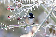 A Black-capped Chickadee (Poecile atricapillus) lands on an ice covered rose branch after an ice storm (freezing rain) in the Fraser Valley of British Columbia, Canada.