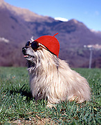 Dog sitting on the meadow with sunglasses and hat, funny situation