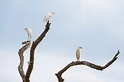 Western cattle egrets, Bubulcus ibis, on a dead tree branches