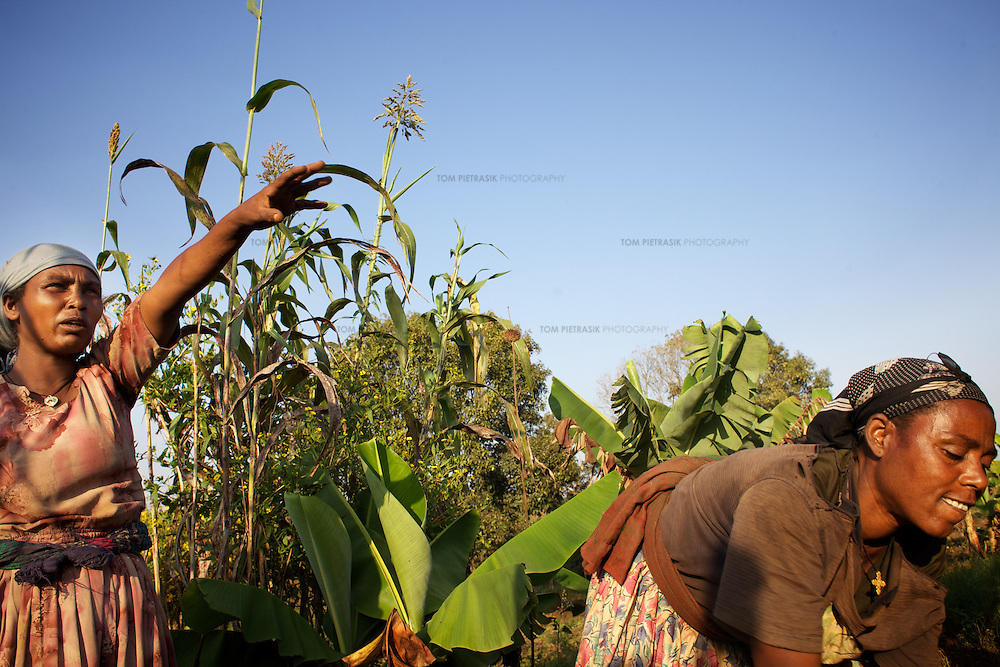 Bayush (left) with members of a farming cooperative tend to their plot of land in the village of Amba Sebat.<br /> <br /> Bayush Kassan (age 37) lives in the village of Amba Sebat, 20km from the town of Assosa with her daughter Genet (age 14) and son Destaw (age 11) in a small thatched hut without running water or electricity. Bayush is part of a cooperative of 31 women who collectively own land on which they farm vegetables. She grows sesame and other oil-seeds and her village cooperative is part of the Assosa Farmers Multipurpose Cooperative Union. The Union buy's Bayush's seed for almost double the average price paid to her by private traders. <br /> <br /> Growing oil seeds presents challenges for the famers of Assosa in western Ethiopia. Many of the most vulnerable are forced to sell to when they cannot be guaranteed a good price for their product. Farms are often located in isolated areas which entails huge amounts of time and effort simply getting seeds to market. Many farmers do not have the resources to properly invest in their land and are tied into exploitative loan arrangements with brokers that deny them the chance to take proper control of their farms. And, as with other agricultural products, it is those agents that process the seeds into oil that secure the greatest profit, very little of which trickles down to benefit the farmer.<br /> <br /> In response to these pressures, twenty farming cooperatives have formed the Assosa Farmers Multipurpose Cooperative Union. By working together, individual farmers are able to pool their resources and squeeze out exploitative agents and brokers. The Union has sufficient capital that it can afford to wait for prices to reach a level at which it is profitable to sell seeds to market. The Union provides loans to constituent members together with training and advice to help farmers make better use of their land. And by collectively hiring vehicles through the Union, farmers need not spend so much time ferrying their