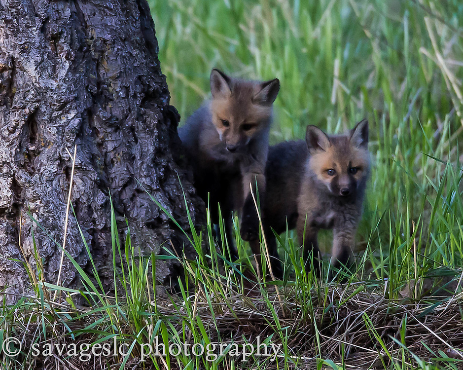 Fox kits. Yellowstone National Park <br />
