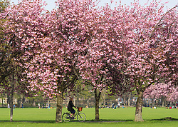 Edinburgh, Scotland, UK. 23 April, 2019. With cherry blossoms in full bloom on trees in The Meadows park in the south of the city, students from nearby Edinburgh University and the public enjoy the blossoms and fine weather.