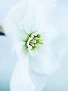 Narcissus 'Dallas' - small-cupped daffodil