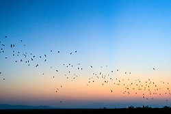 Trail of Mexican free-tailed bats in flight in  twilight evening sky after emerging from roost in lava tubes on Armendaris Ranch, Ted Turner Expeditions, near Truth or Consequences, New Mexico, USA.