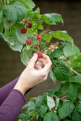 Harvesting soft fruit -  raspberries