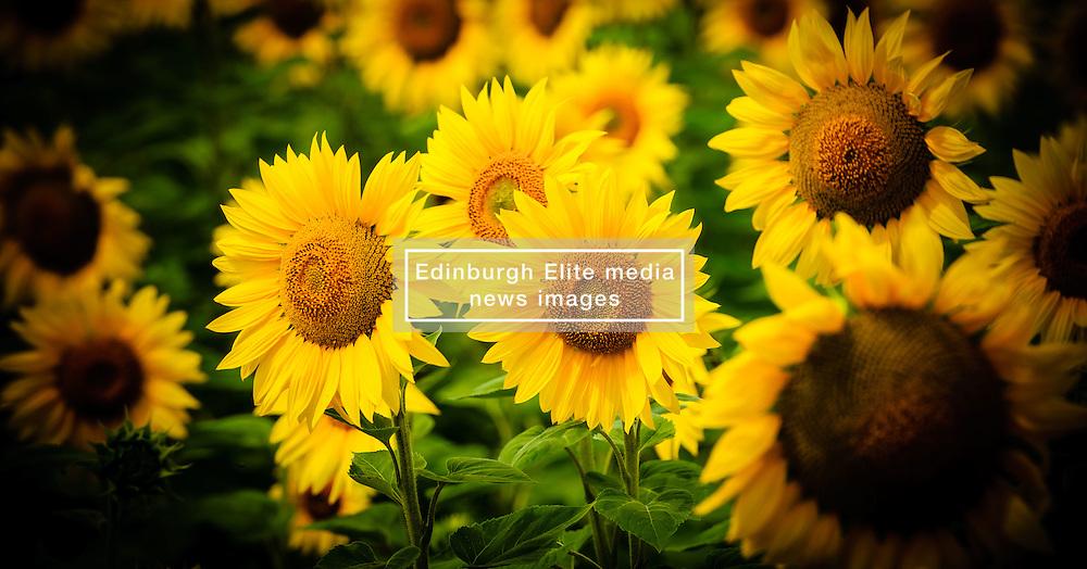 Sunflowers growing on the Côtes de Duras, Lot et Garonne, France<br /> <br /> (c) Andrew Wilson   Edinburgh Elite media