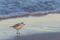 White-Fronted Plover on the beach, Struisbaai, Western Cape, South Africa