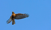 MIDDLEBURY, CT - 15 JANUARY 2009 -011509JT02-.A red-shouldered hawk flies overhead from one tree to another near Fenn's Pond in Middlebury on Thursday afternoon..Josalee Thrift / Republican-American