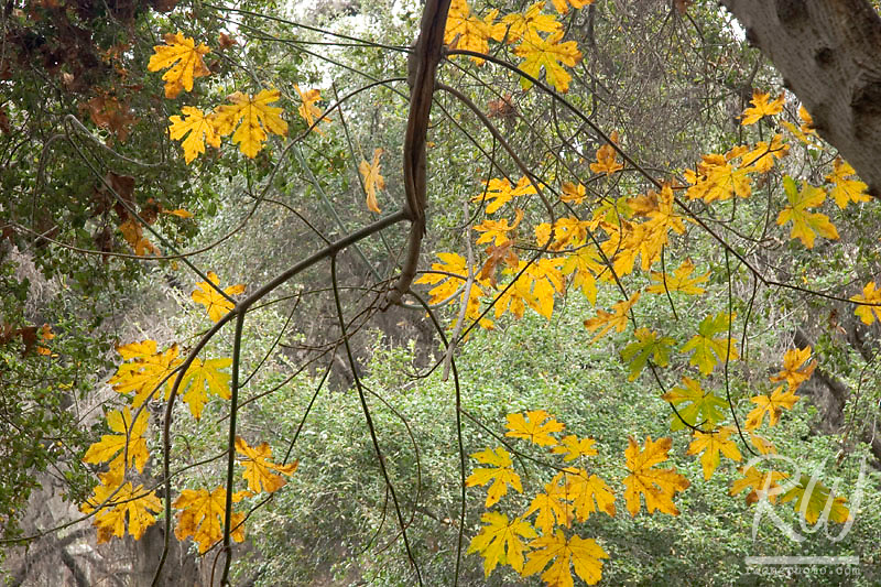 Oak Tree Leaves in Fall, Big Dalton Canyon Wilderness, Glendora, California