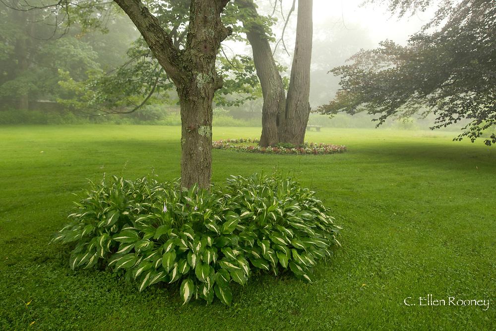 Hosta growing around a tree in Richard Ballinger's Garden in Rensselaerville, New York, U.S.A.