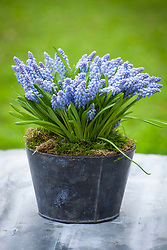 Muscari - grape hyacinths - in a pot