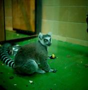 Warsaw Zoo, Poland, 1/12/2009. Lemur Catta (Linnaeus, 1775)