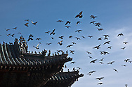 Mongolia. Ulaanbaatar. pigeons flying over Gandan Buddhist the bigest  Monastery  in Ulaan baatar