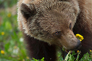 Young female Grizzly bear, Ursus arctos horribilis, Banff National Park, Alberta, Canada, North America