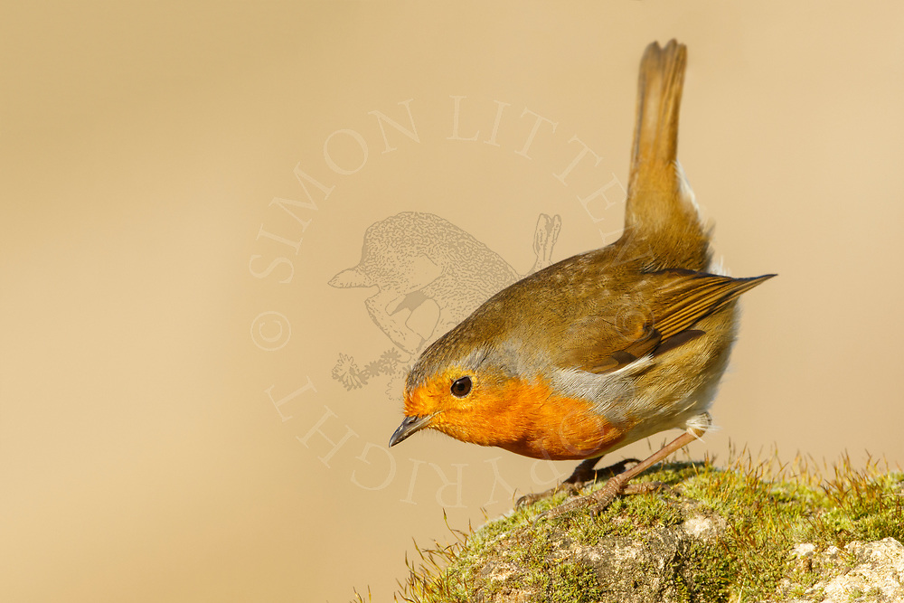 European Robin (Erithacus rubecula) adult,perched weathered rock, South Norfolk, UK. December.