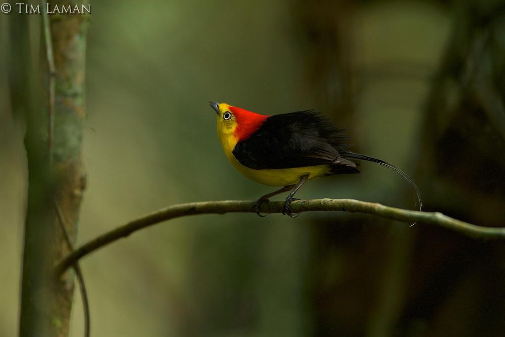 Wire-tailed Manakin (Pipra filicauda)<br />Male at display perch.<br /><br /><br />Tiputini Biodiversity Station, Amazon Rain Forest, Napo Province, Ecuador