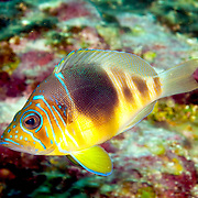 Barred Hamlet inhabit reefs in Tropical West Atlantic; picture taken Grand Cayman.