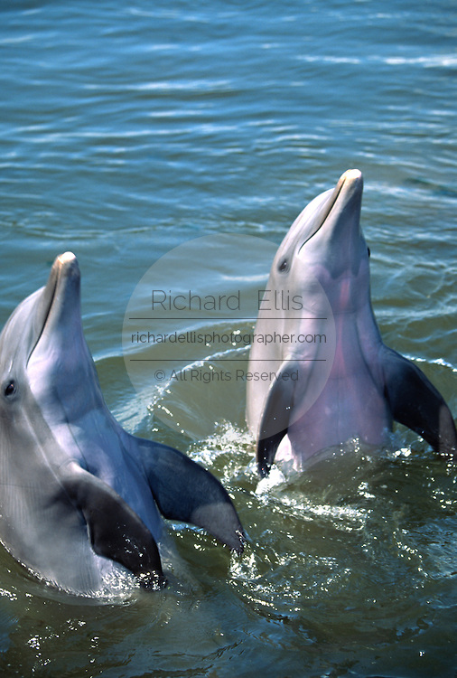 Bottle nose dolphins play at the Dolphin Research Center  June 27, 1996 in Marathon Key, FL.  The center is where the original Flipper was trained and specializes in returning trained dolphins to the wild.