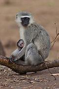 Vervet Monkey, mother and baby, Kruger, Africa