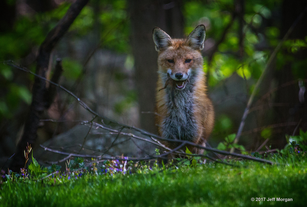 An adult male Red Fox stands at the forest edge with a freshly killed chipmunk in his mouth.