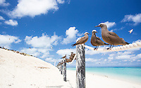 Common Noddies (Anous stolidus) perched on a rope fence with terns flying overhead, Michaelmas Cay, Great Barrier Reef, Australia
