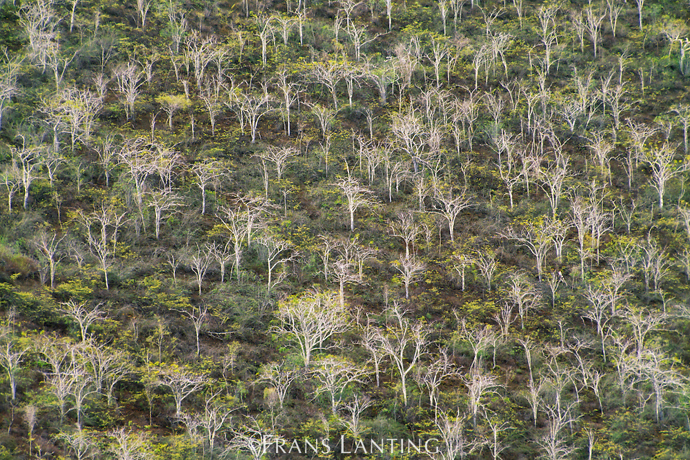 Palo santo trees, Bursera graveolens, Galapagos Islands