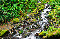Mosses and ferns line the bank of the cascading Mount Tom Creek.  Hoh Rain Forest, Olympic National Park, Washington.