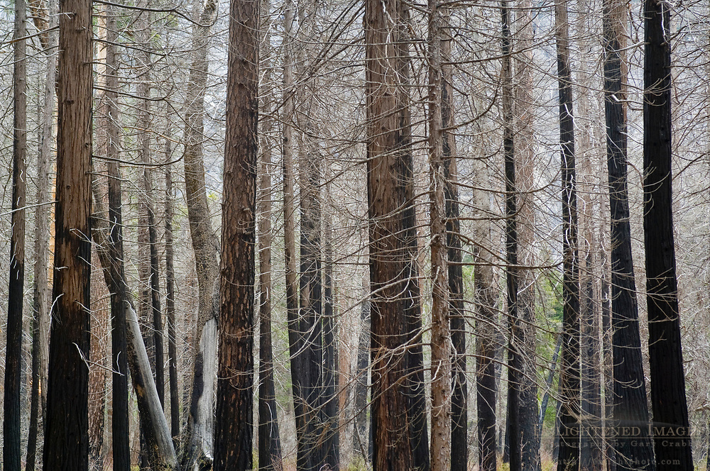 Barren trees in burnt forest, Yosemite Valley, Yosemite National Park, California