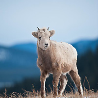 bighorn sheep lamb wild rocky mountain big horn sheep