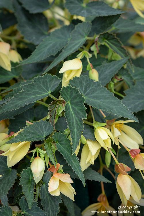 Begonia F1 Starshine Yellow